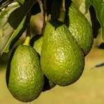 Avocado cholesterol lowering effect and benefits