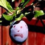 Do prunes lower cholesterol?